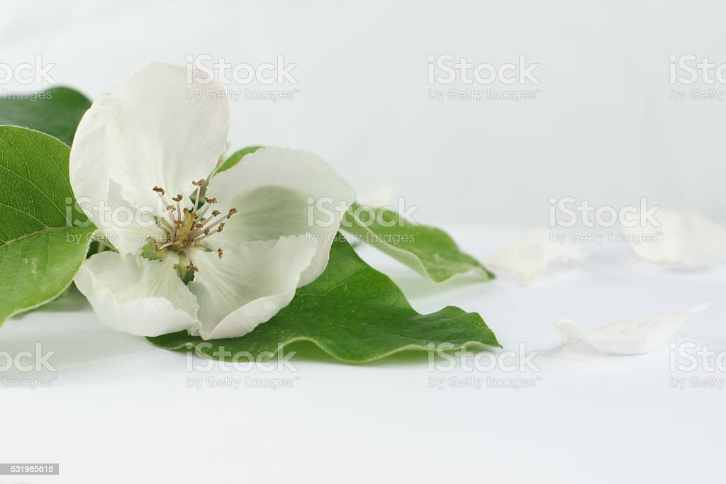 Quince flower close up stock photo