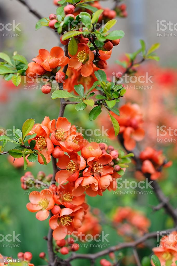 Quince flowers and buds closeup macro stock photo