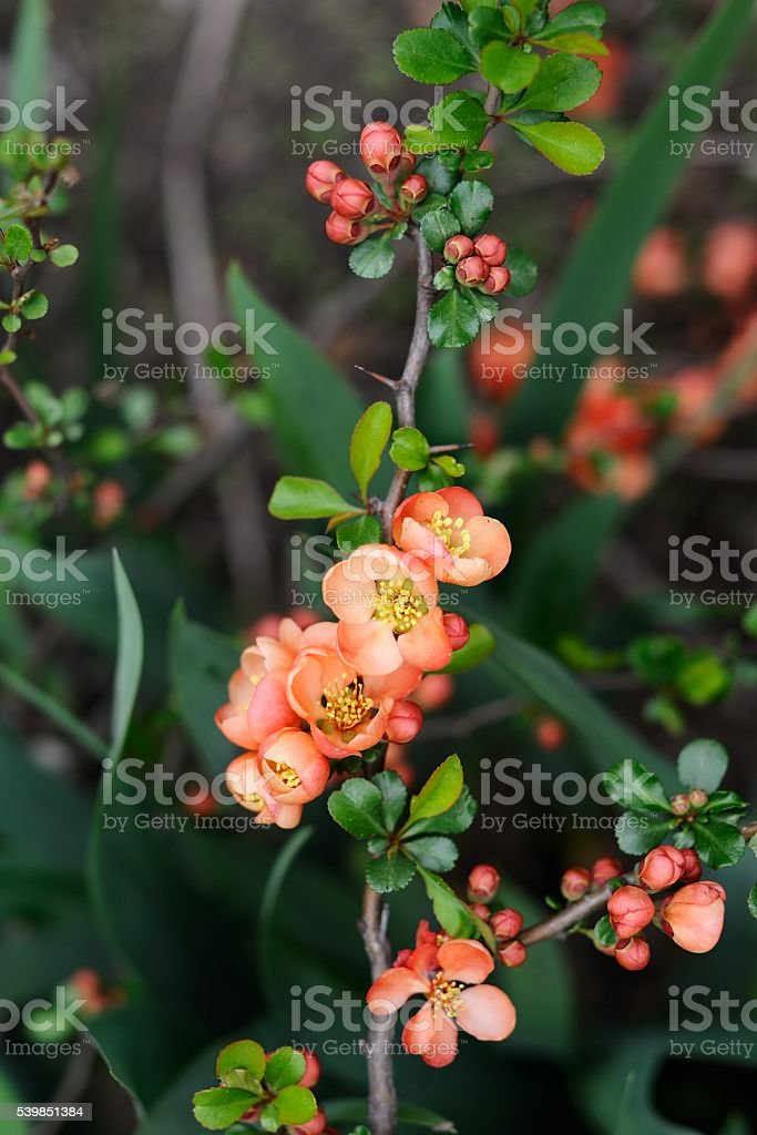 Quince flowers and buds stock photo