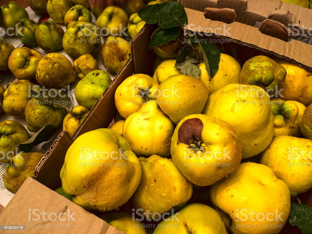 Quince harvest stock photo