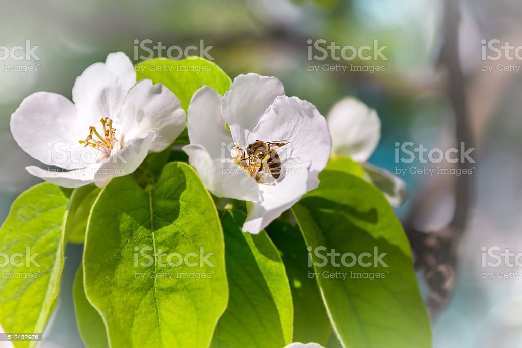 quince tree in bloom  bee collects nectar stock photo