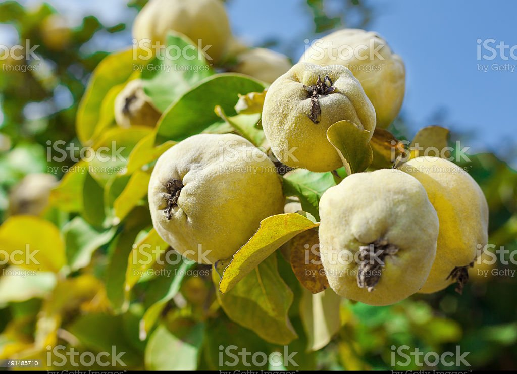 Quinces on the Tree royalty-free stock photo