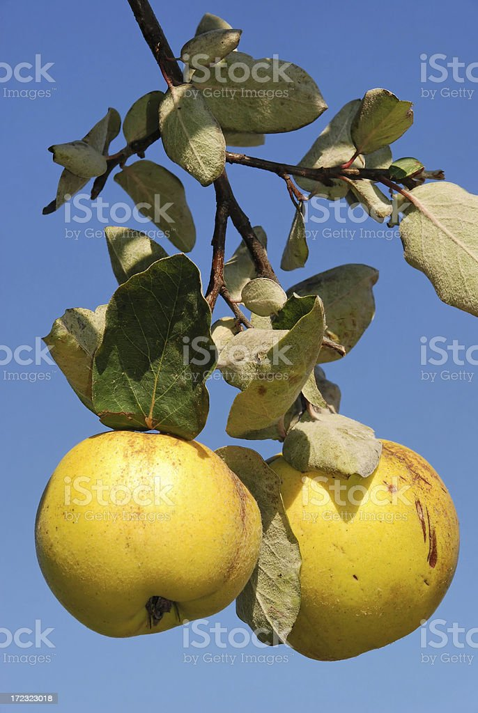 Quinces royalty-free stock photo
