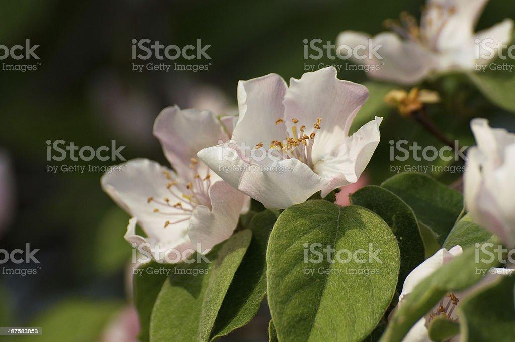 Quincle 花 ロイヤリティフリーストックフォト