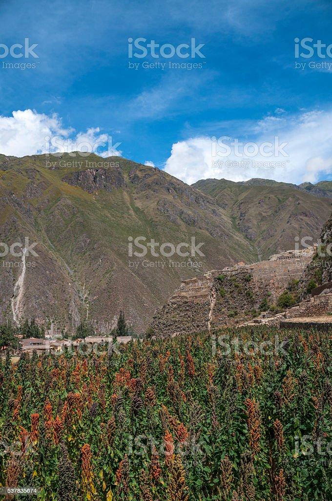 Quinoa Crop In Ollantaytambo, Peru stock photo