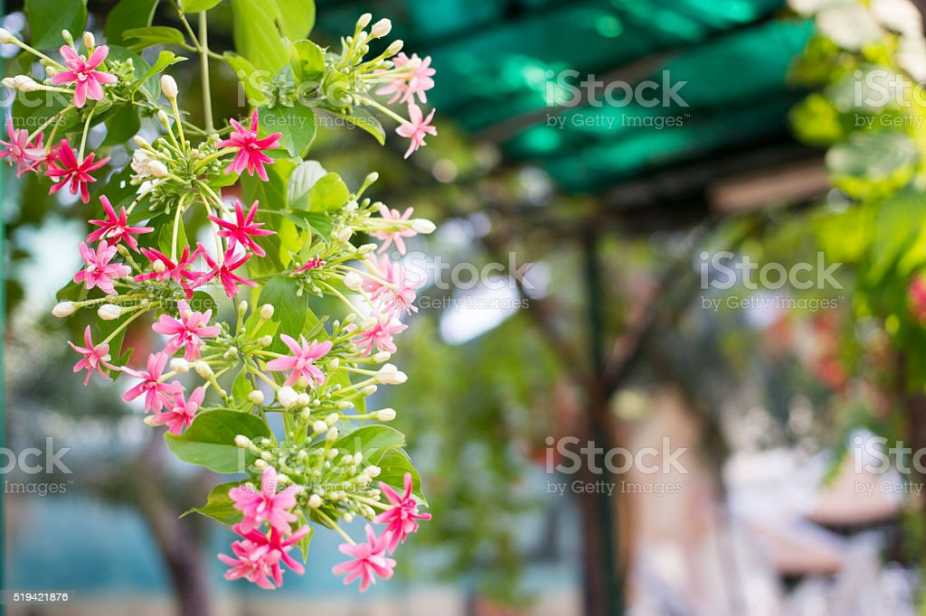 Quisqualis indica also known Rangoon Creeper, and Combretum indicum stock photo