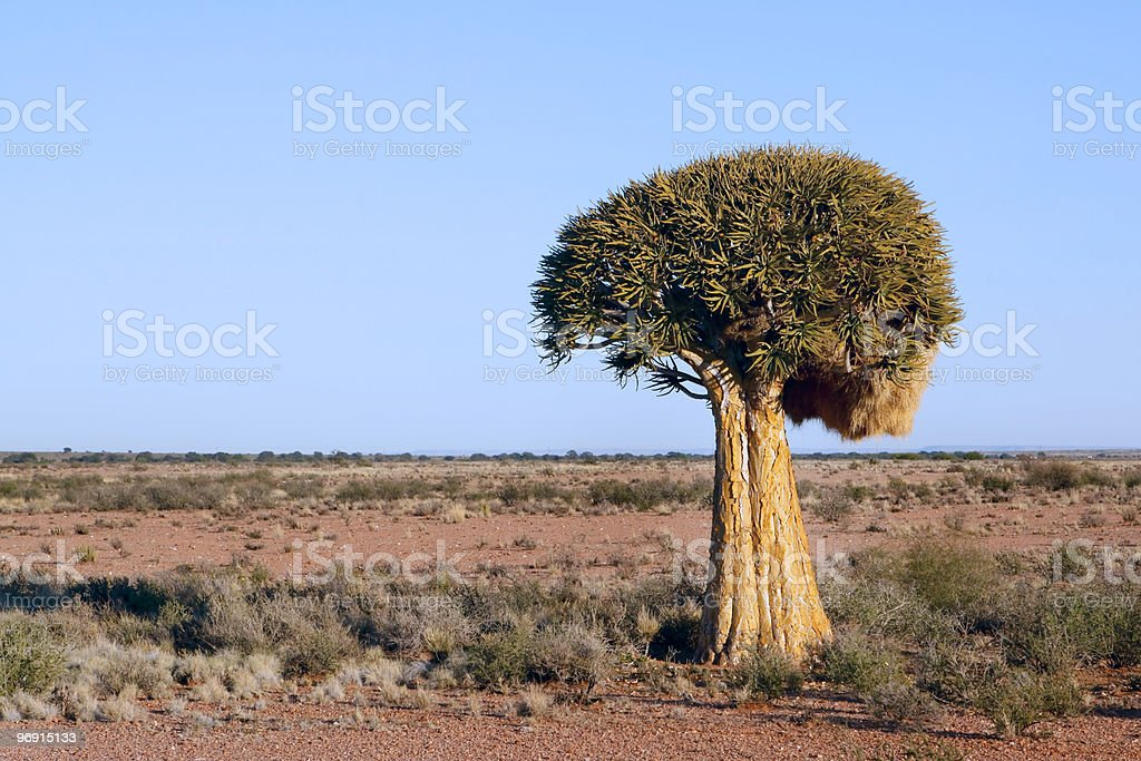 Quiver tree Aloe dichotoma in South Africa royalty-free stock photo