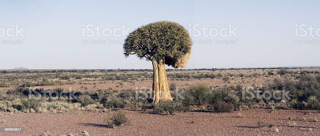 Quiver tree Aloe dichotoma stock photo