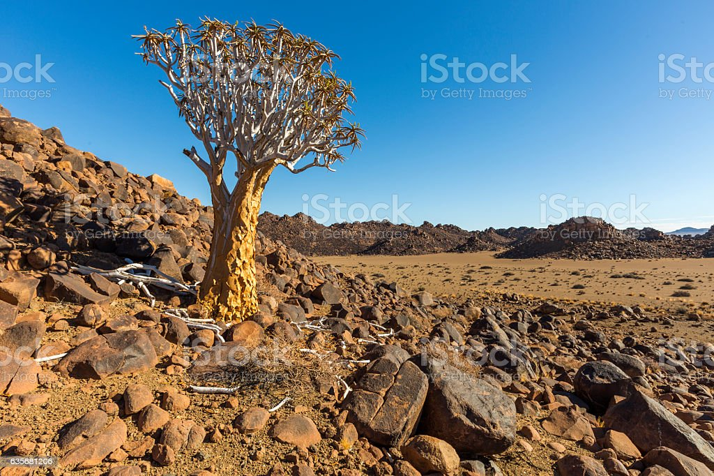 Quiver Tree and koppies stock photo