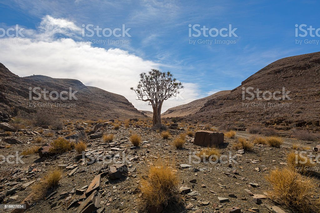 Quiver Tree and rocks stock photo