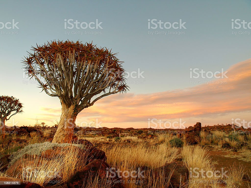 Quiver Tree and Rocky Landscape stock photo