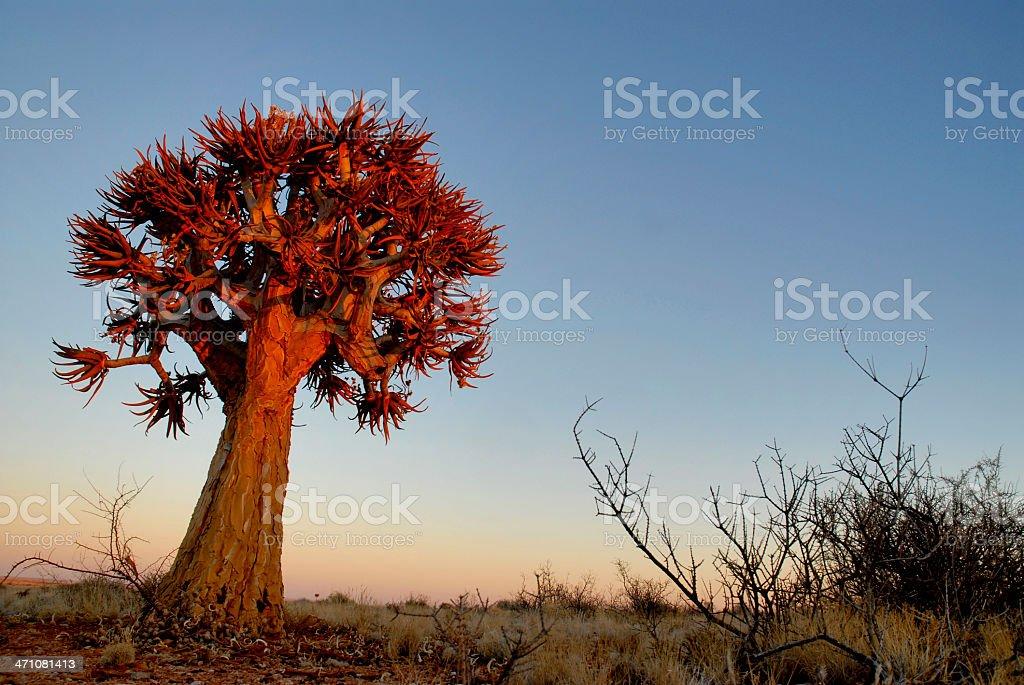 Quiver tree at dusk landscape stock photo