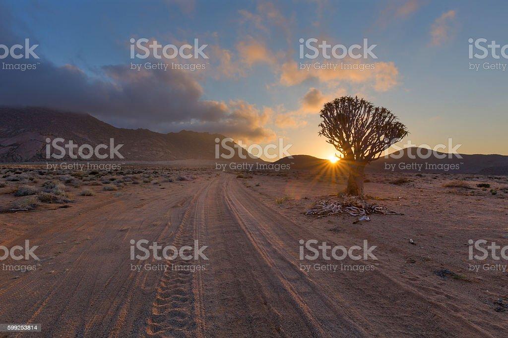 Quiver Tree at sunrise stock photo
