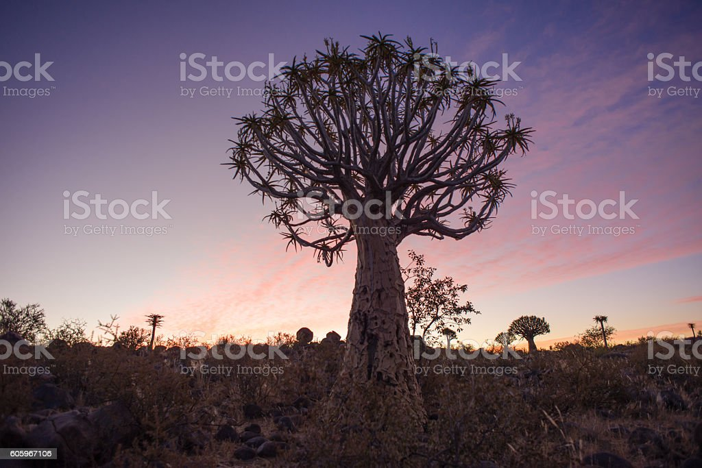 Quiver Tree at Sunset stock photo