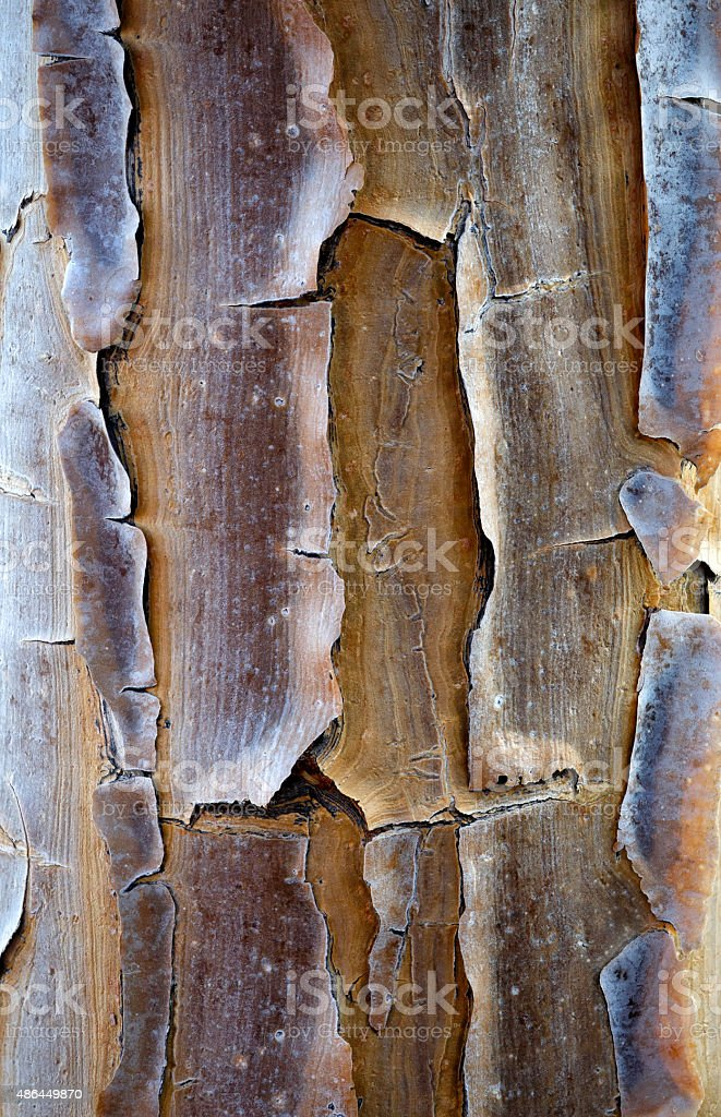 Quiver Tree Bark Detail stock photo
