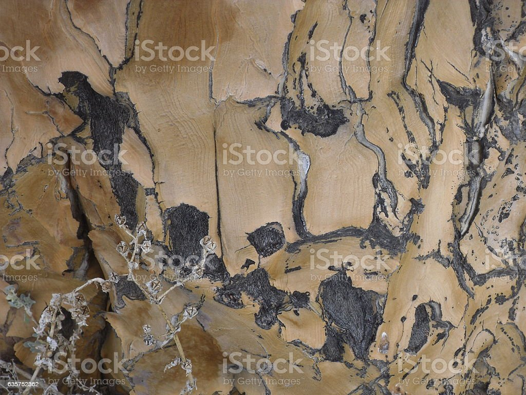 Quiver Tree bark stock photo