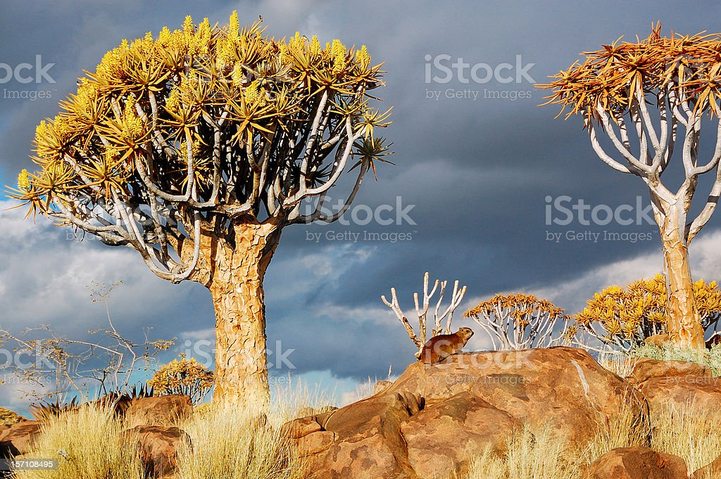 Quiver tree forest african landscape royalty-free stock photo