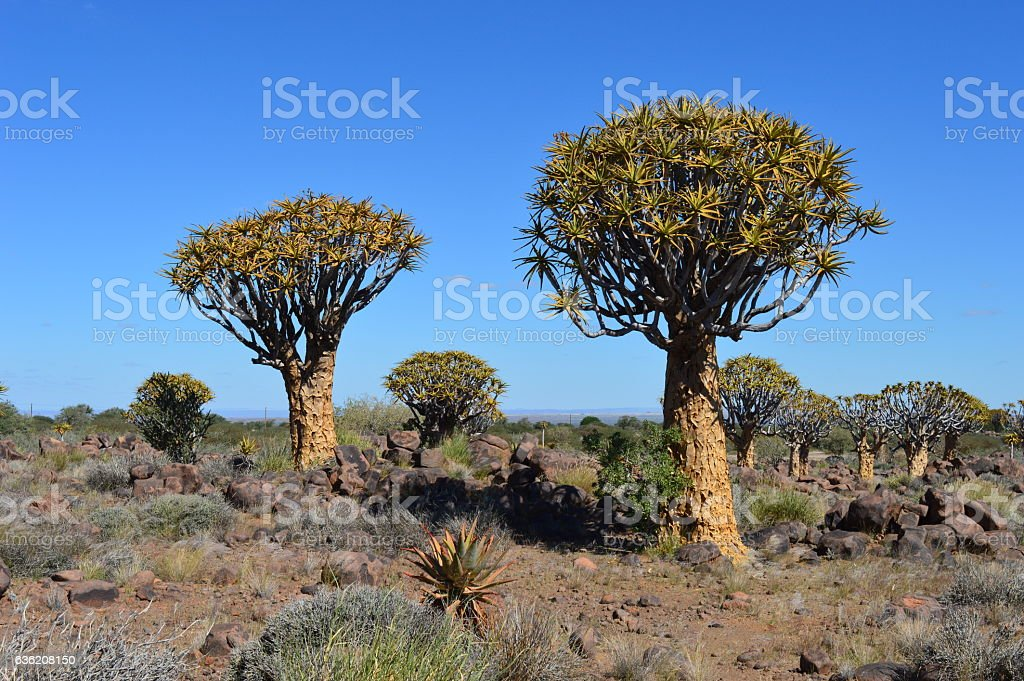 Quiver tree forest in namibia stock photo
