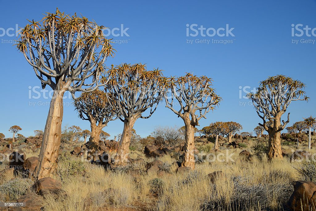 Quiver Tree Forest, Keetmanshoop, Namibia stock photo