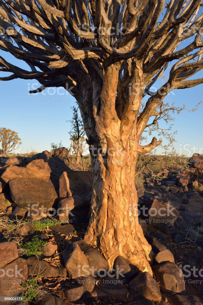 Quiver Tree Forest Namibia stock photo