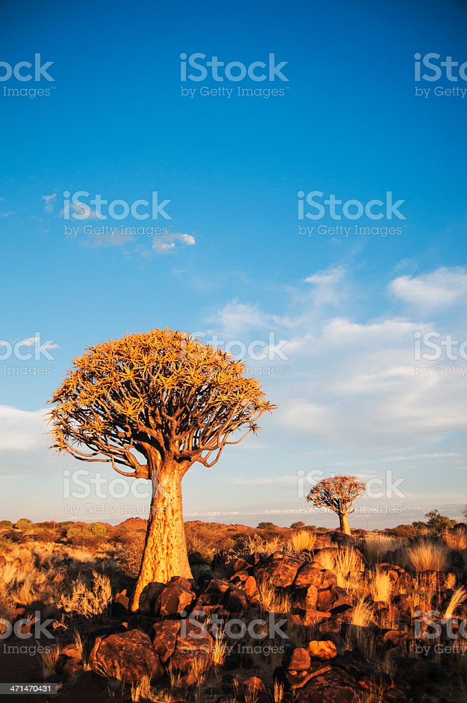 Quiver Tree Forest royalty-free stock photo