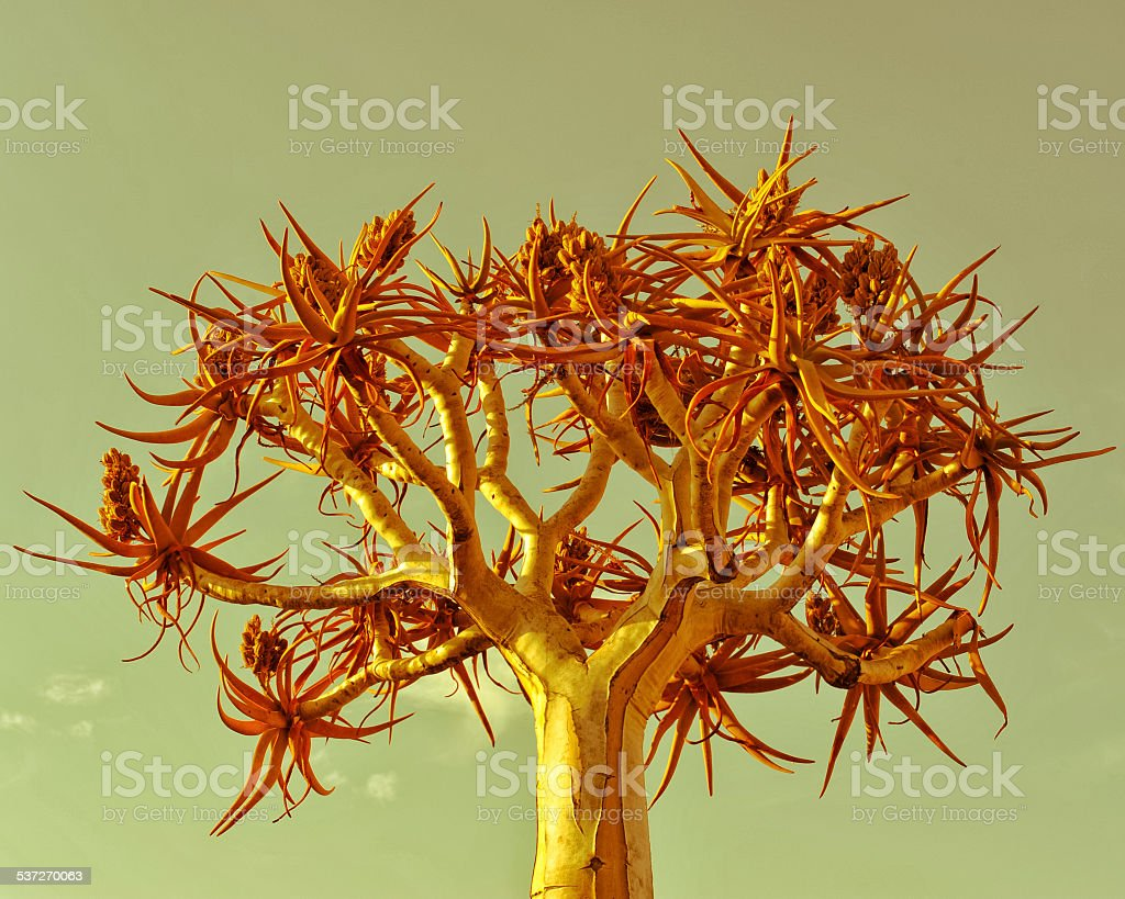 Quiver tree in Namibia stock photo
