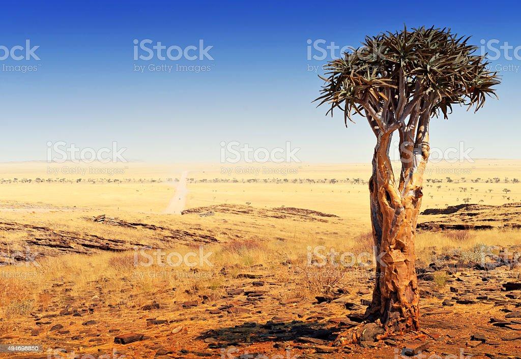 Quiver tree (Aloe dichotoma) in the Namibian desert stock photo