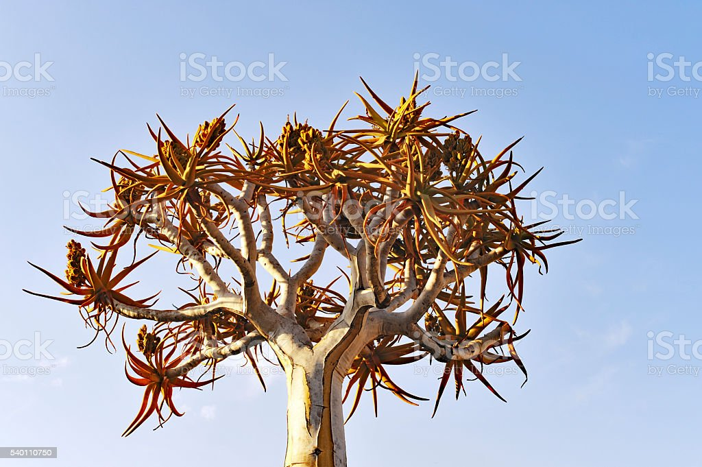 Quiver tree (Aloe dichotoma) in the Quiver tree forest in Namibia stock photo