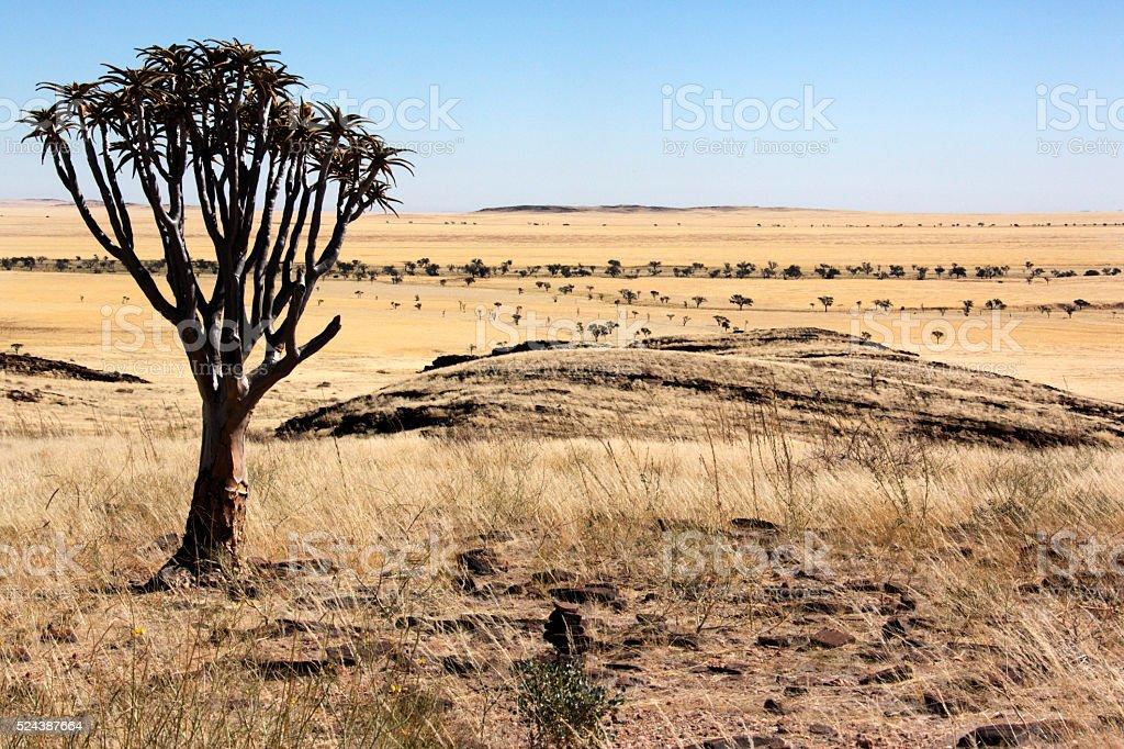 Quiver Tree - Namib Naukluft - Namibia stock photo