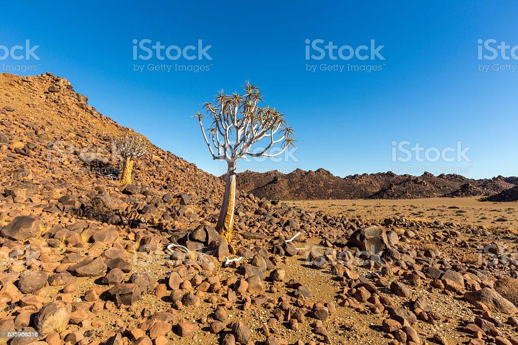 Quiver Tree on rocky kopje stock photo