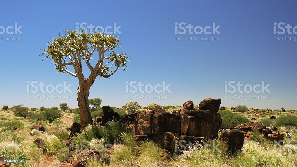 Quiver tree or kokerboom forest, Namibia stock photo