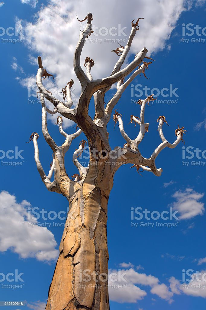 quiver tree stock photo