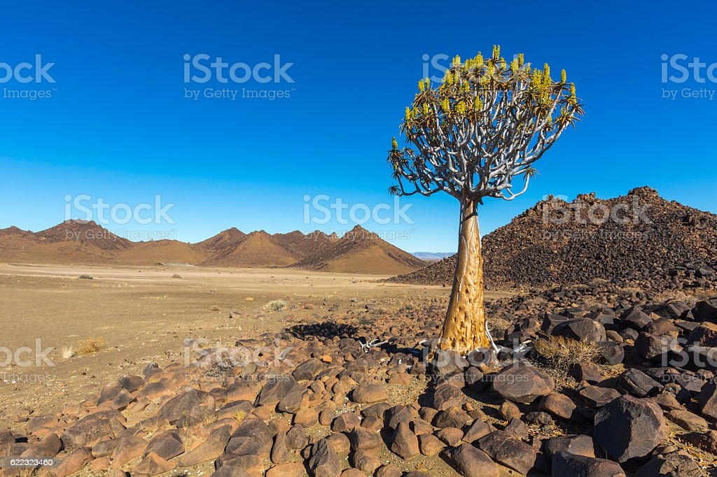 Quiver Tree stock photo
