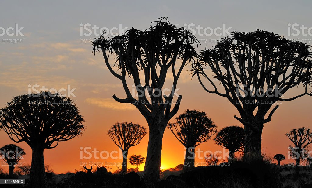 Quiver tree silhouettes at sunset in Keetmanshoop,Namibia royalty-free stock photo