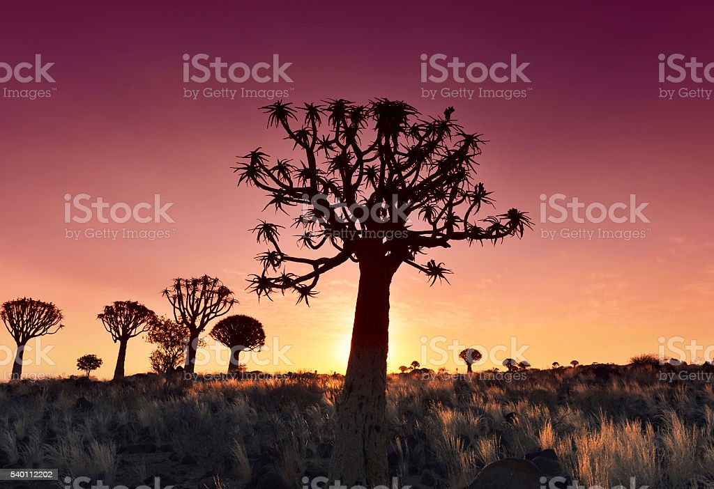 Quiver tree silhouettes at sunset in Keetmanshoop,Namibia stock photo