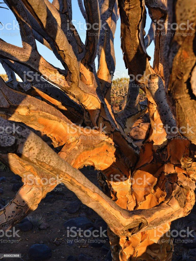 Quiver Tree trunkNamibia stock photo