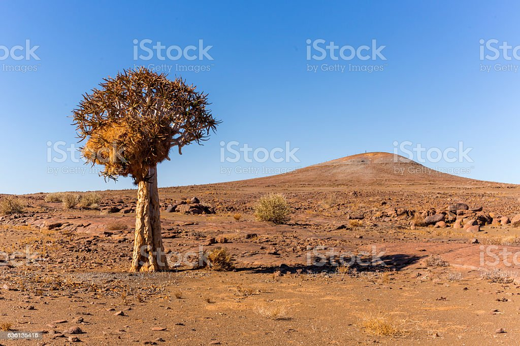 Quiver Tree with social weaver nest stock photo