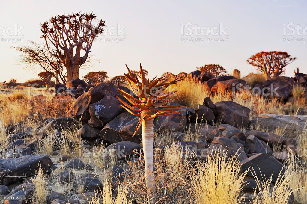 Quiver trees and aloe the Quivertree forest in Keetmanshoop,Namibia stock photo