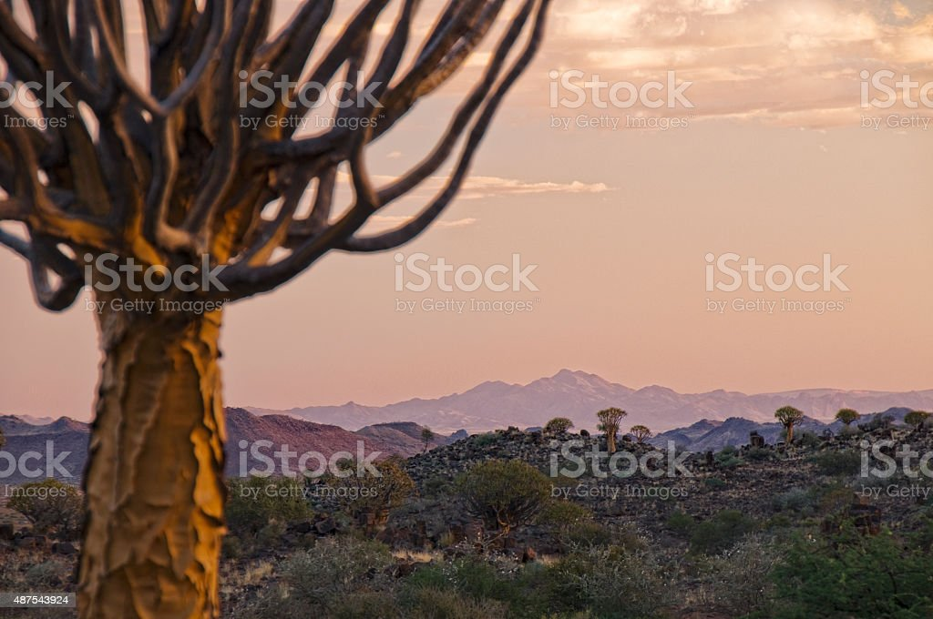 Quiver trees in Africa stock photo