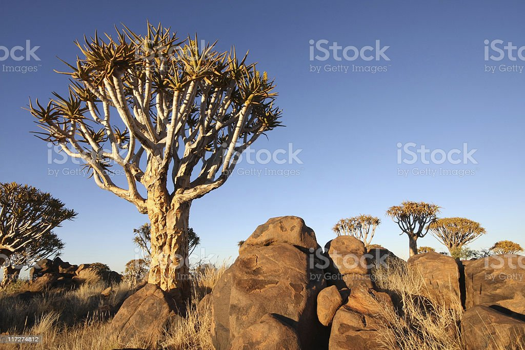 quiver trees royalty-free stock photo