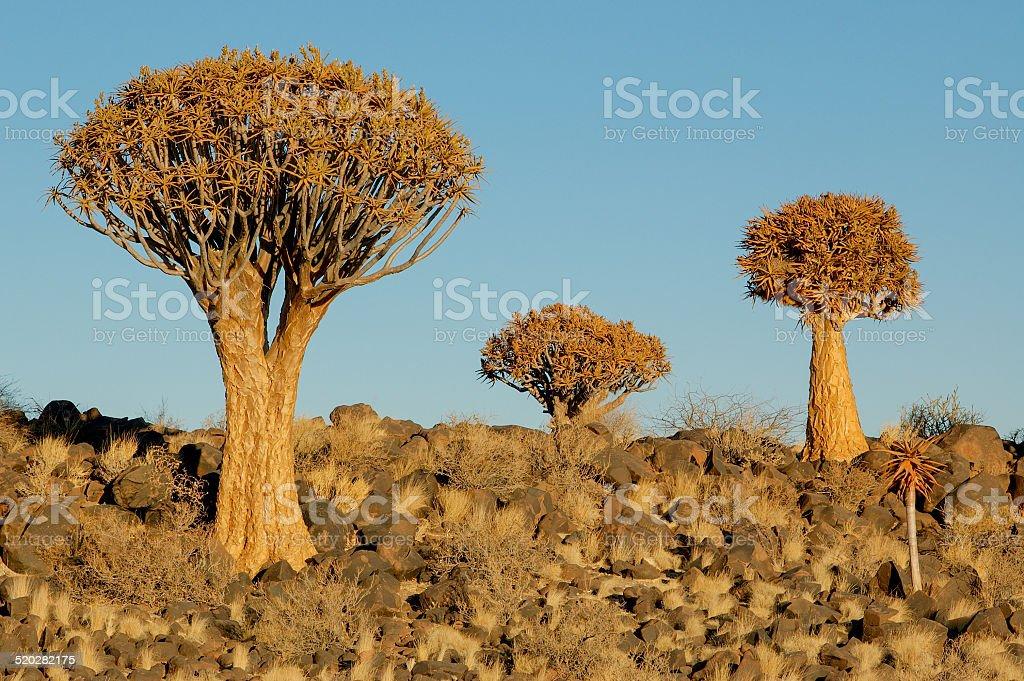 3 Quiver Trees stock photo