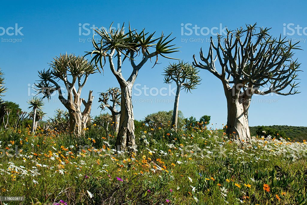 Quiver trees with wild daisies royalty-free stock photo