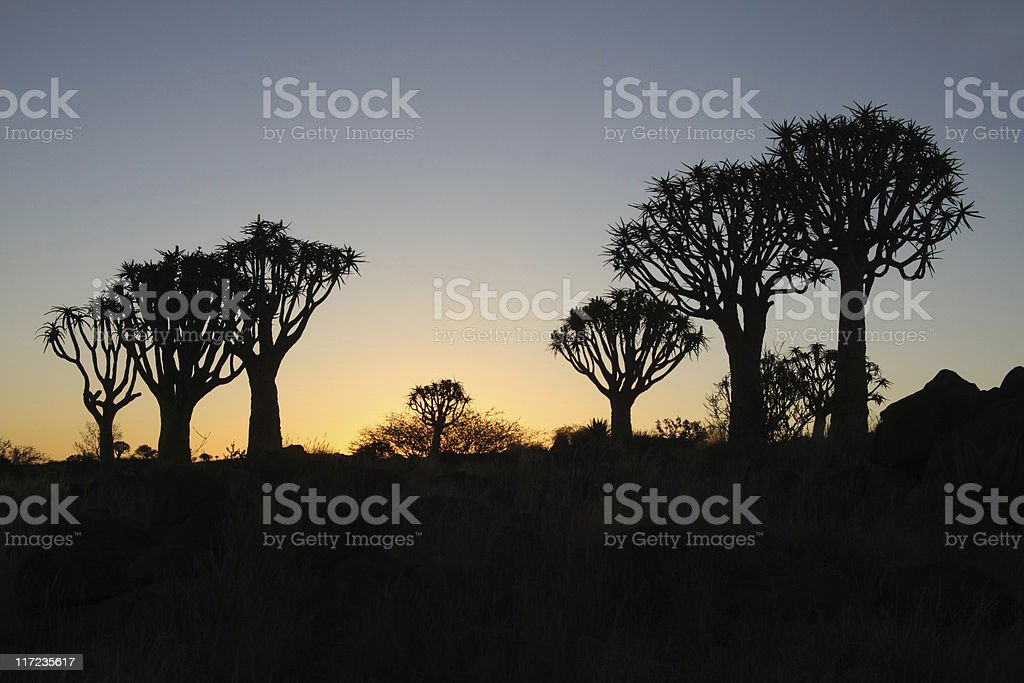 quivertree forest after sunset royalty-free stock photo