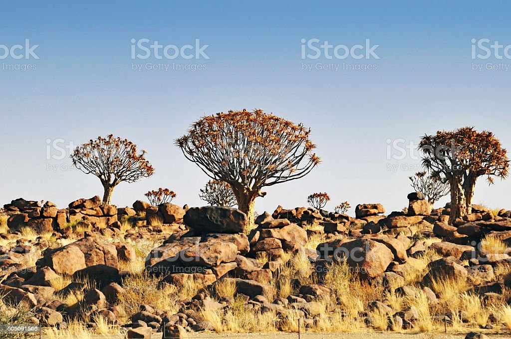 Quivertree forest  near Keetmanshoop in Namibia stock photo