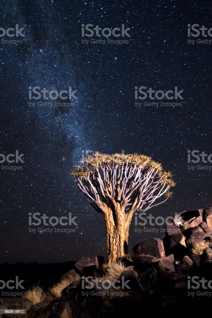 Quivertree  on a rock outcrop under the Milky Way stock photo