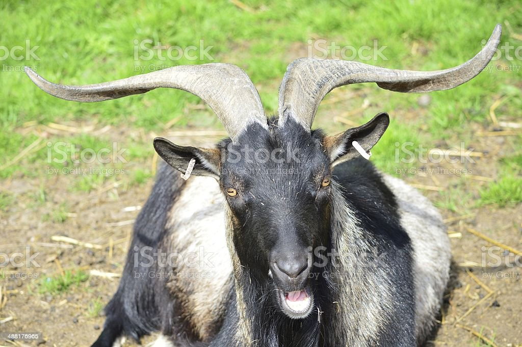 Quizzical, talking goat stock photo