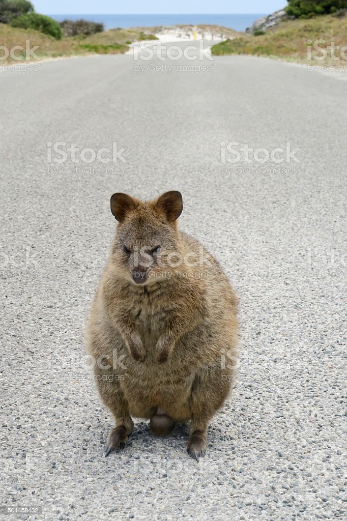 Quokka at Rottnest Island, Western Australia stock photo