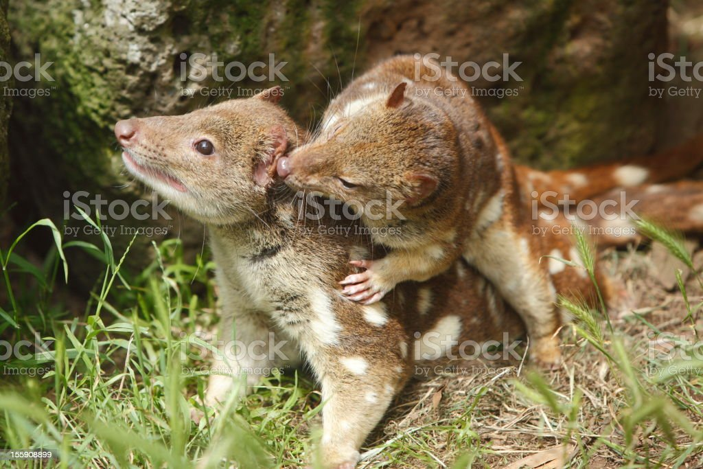Quoll royalty-free stock photo