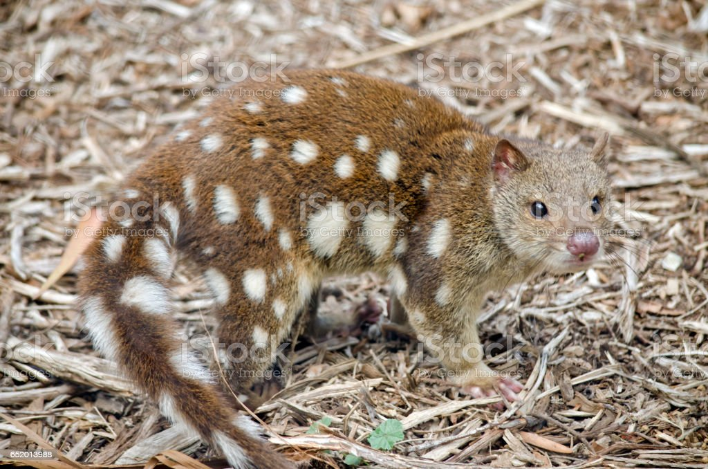quoll stock photo