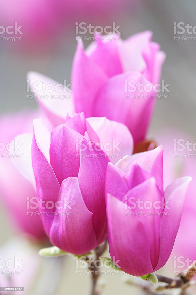 """Heavenly Scent"" Magnolia (soft) royalty-free stock photo"